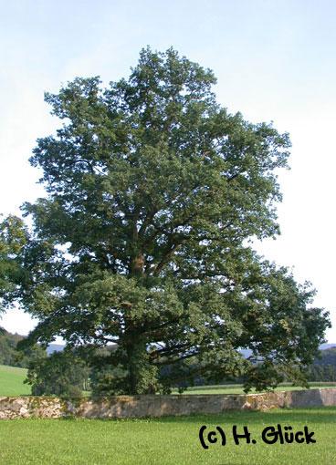 Karte mit Umschlag - Oak